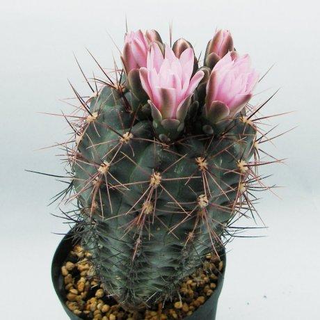 Sany0093--andreae ssp carolinense--GN 273-880--Piltz seed 3410