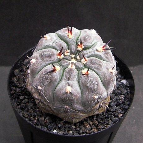 Sany0113--berchtii--VS 161--Koehres seed