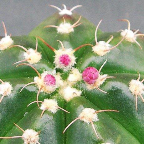 Sany0161--fleischerianum--mesa seed 464.092