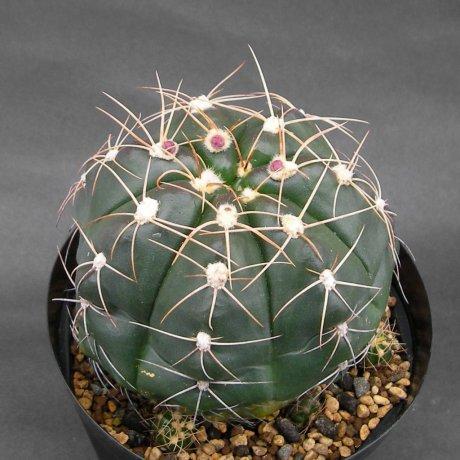 Sany0158--fleischerianum--LB 21--ex Eden