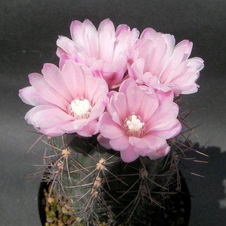 Sany0168--andreae ssp carolinense--GN 273-880 --Piltz seed 3410