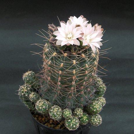 Sany0183--bruchii ssp lafaldense--LB 1095--Bercht seed