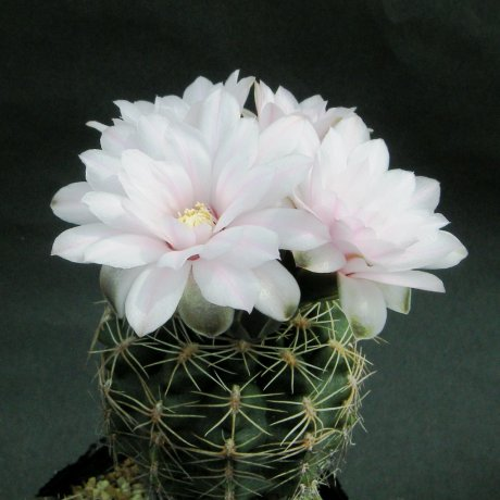 Sany0044--andreae ssp matznettri--STO 394--Amerhauser seed--ex Tutiya