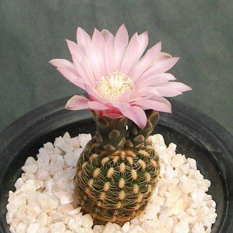 Sany0188--bruchii ssp pawlovskyi--RH 2939A--Santa Cruz Sobremonte CORDOBA--ex Eden 18578