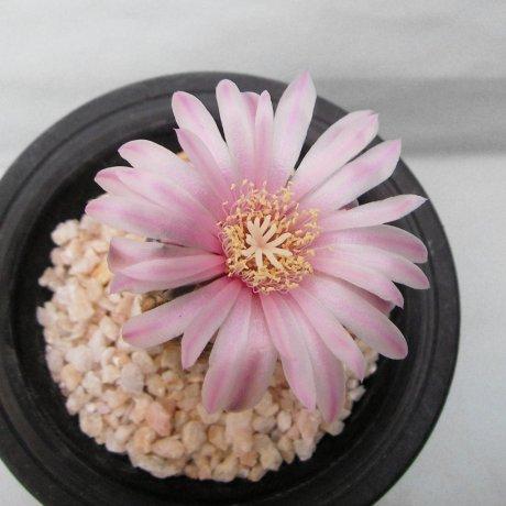 Sany0195--bruchii ssp pawlovskyi--