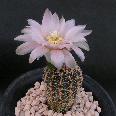 Sany0116--bruchii ssp shimadae--Neuhuber seed(2009)--ex Shimada