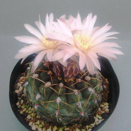 Sany0143--uruguayense v roseiflorum--LB 651--ex Frans Nortie-Houmei en--