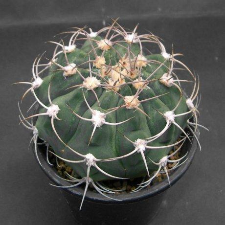 Sany0125--igriareolatum v simoi--La Merced--Bercht seed GYM 318(2004)