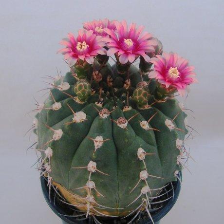 Sany0076--nigriareolatum v carmineum--STO 255--Koehres seed 9660