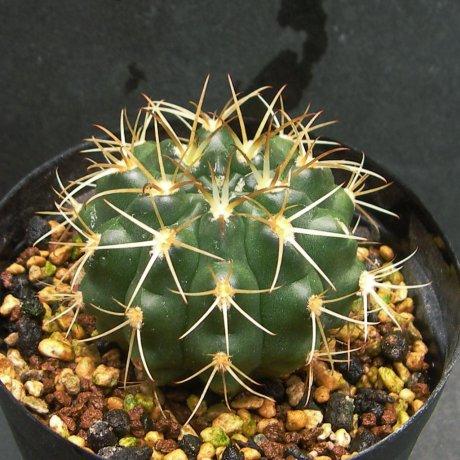 Sany0134--hamatum--VoS 03-067--Schaedlich seed(2010)