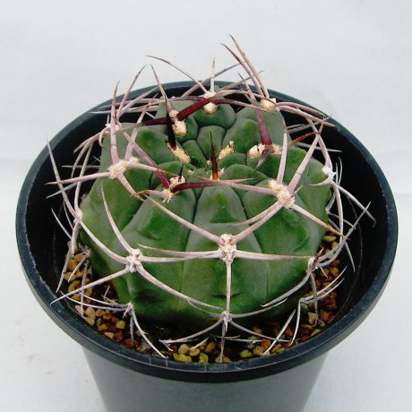 Sany0006--catamarcense f ensispinum--OF 27-80--Piltz seed 2645