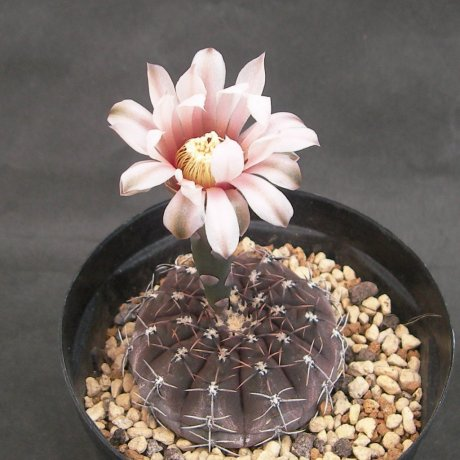 Sany0006---occultum--P 131B--Mesa seed 476.62