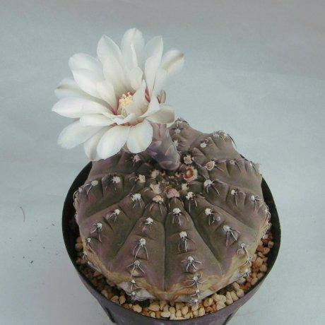 Sany0032--occultum--Mesa seed 476.5