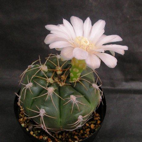 Sany0056--oehmeanum--Koehres seed