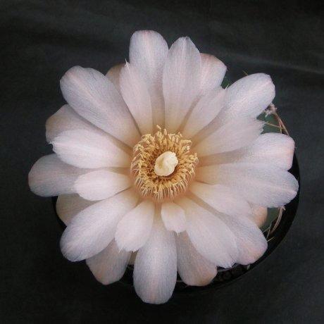 Sany0058--oehmeanum--Koehres seed