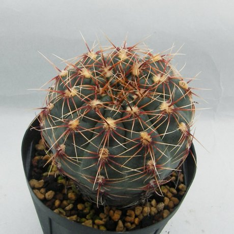 Sany0082--erinaceumv paucisquamosum--P 400--Piltz seed