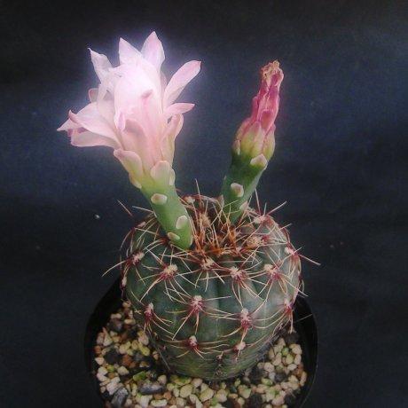 Sany0060--erinaceum v paucisquamosum---P 400--Piltz seed