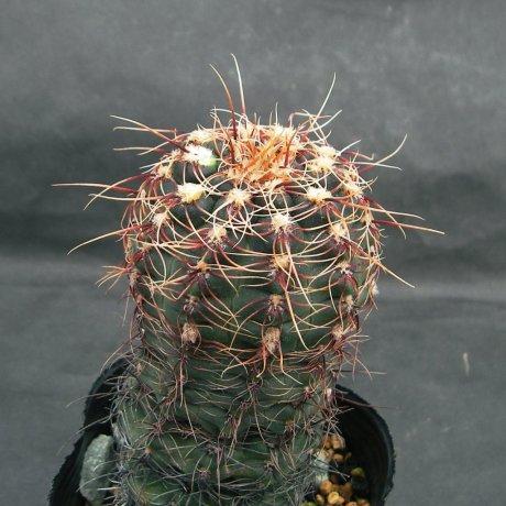 Sany0105--erinaceum v paucisquaamosum--P 400--Sa. Chica, Cordoba -- (Piltz.seed.4327)
