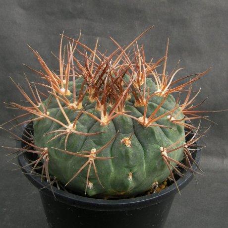 Sany0211--catamarcense ssp acinacispinum--STO 45--ex Milena