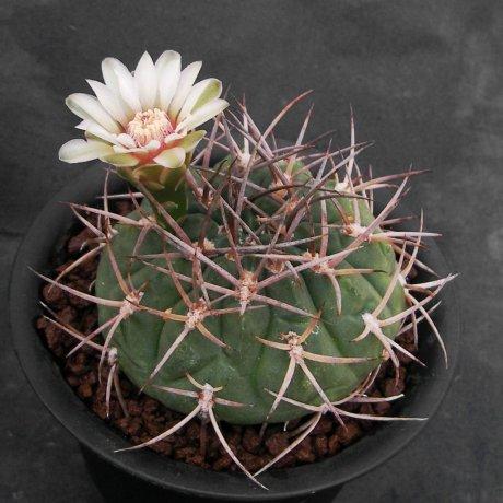 Sany0134-catamarcense v. acinacispinum-STO 45--Mischiango - Mutquin--Milena Audisio
