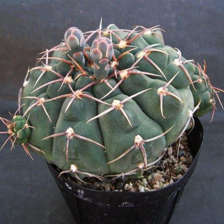 Sany0200--moserianum--WO 66--knollii--Mesa seed 474.8