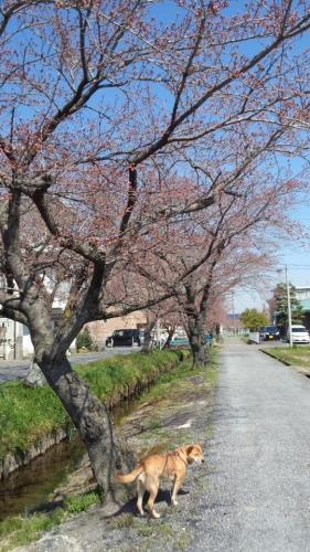 2015-3-27 桜2