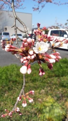 2015-3-27 桜