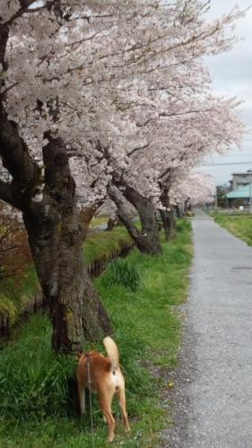 2015桜並木1