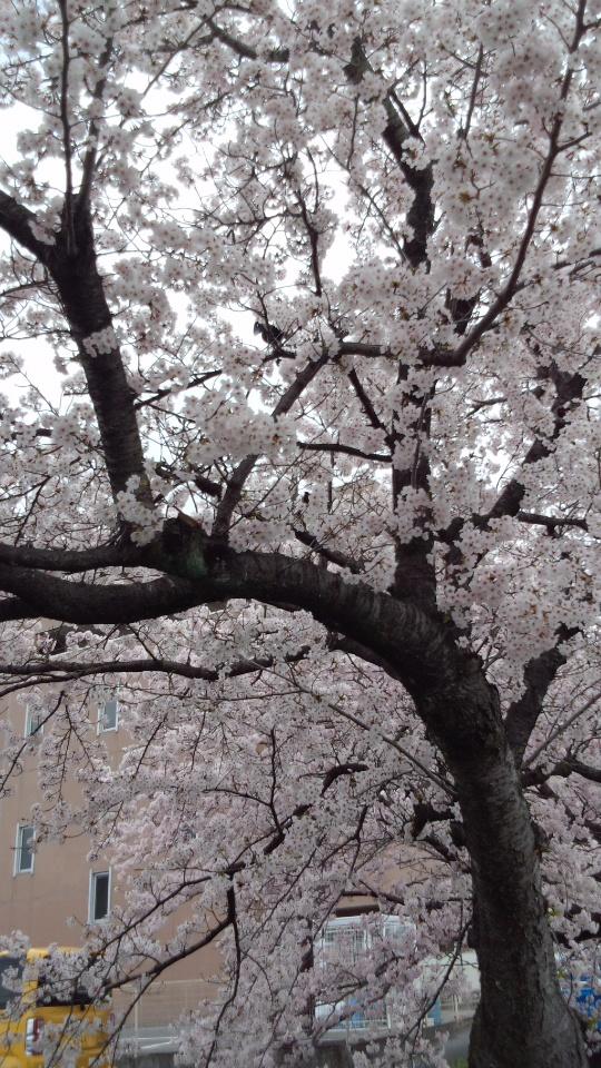 2015桜並木6