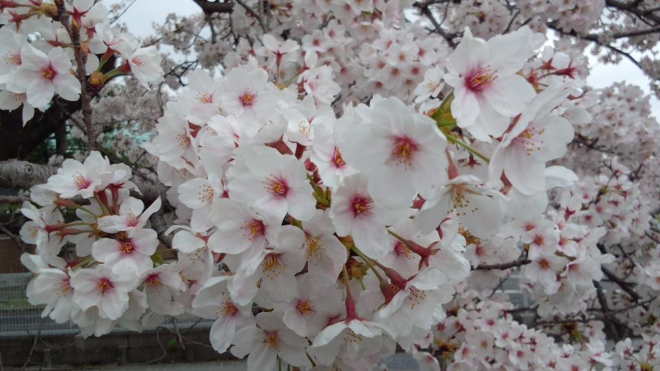 2015桜並木4