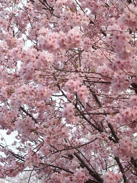 桜とパンと2