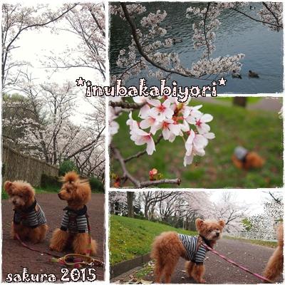 2015sakura3.jpg