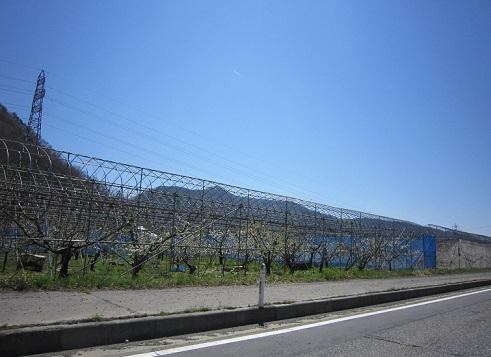 米沢へ向かっています、サクランボ畑