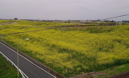 江戸川の土手は菜の花が満開!