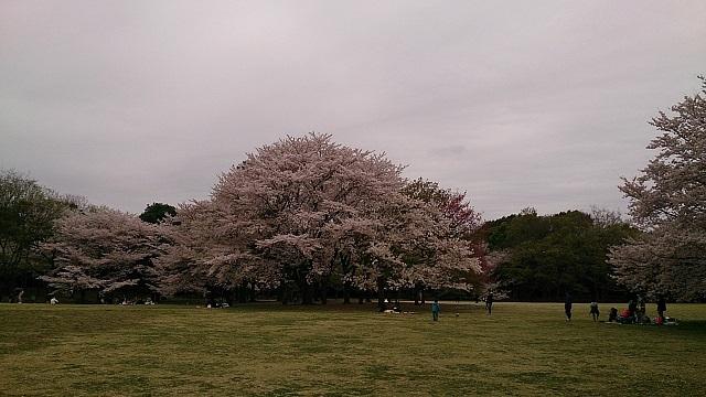 桜の木がたくさんあるんです