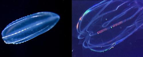 発光クラゲ