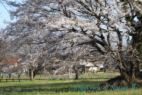 鹿嶋古墳の桜(201503269208)