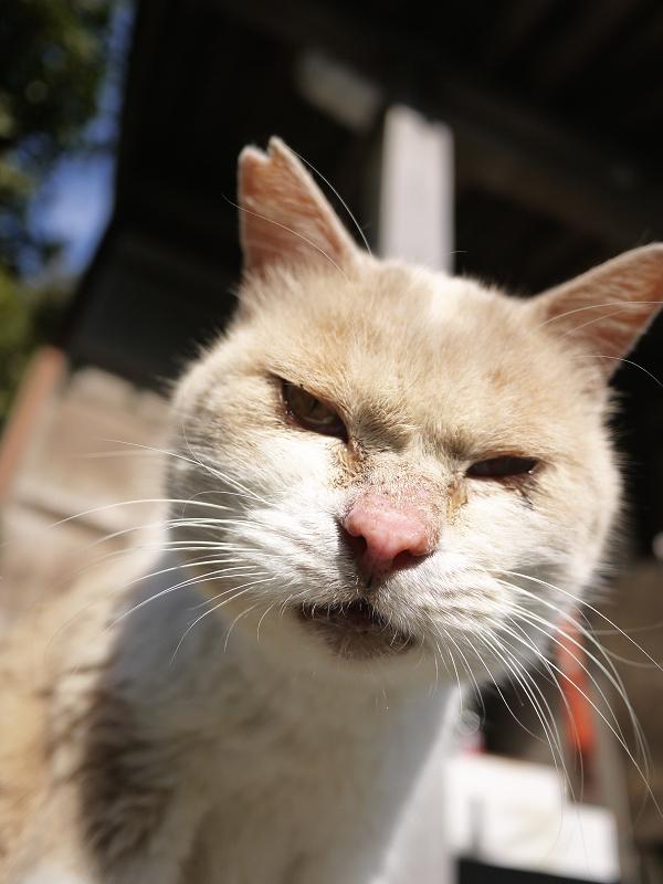 毛繕い中の薄茶猫2