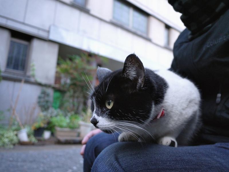 膝の乗って何かを見てるネコ