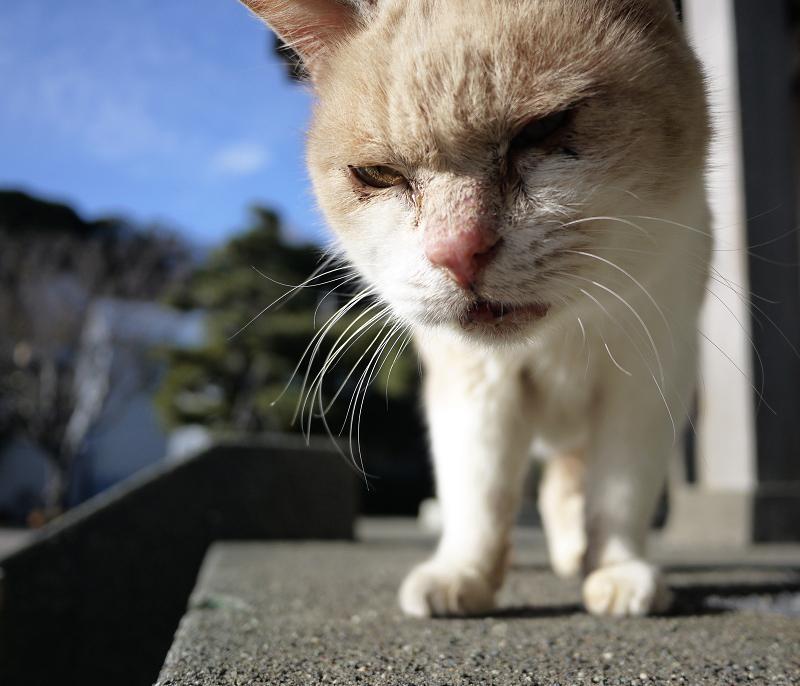 薄目を開けて近寄る薄茶猫