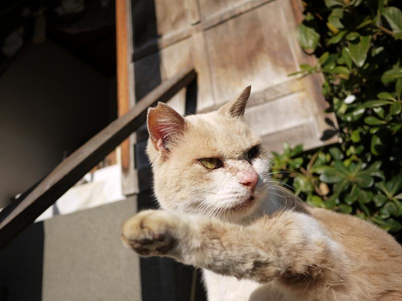 足を上げてる薄茶猫2