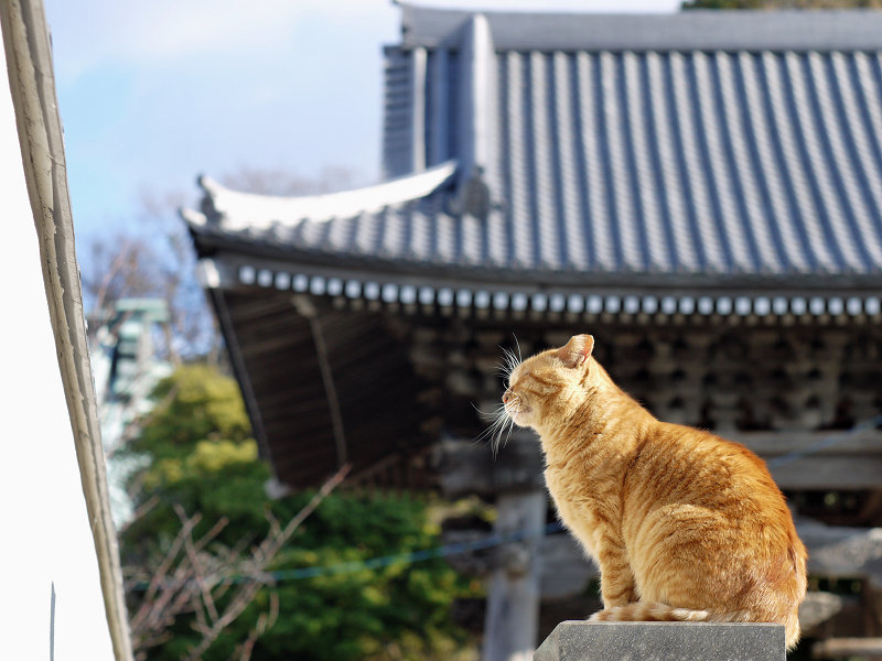背景がお寺の屋根の猫