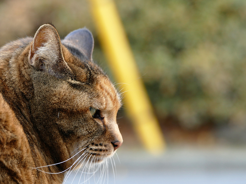 サビ柄猫の横顔
