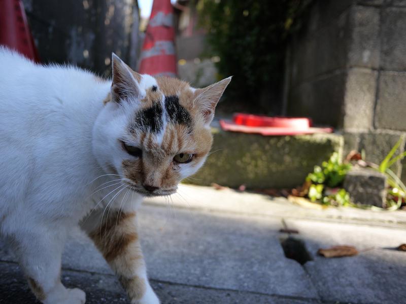 三毛猫の睨み顔