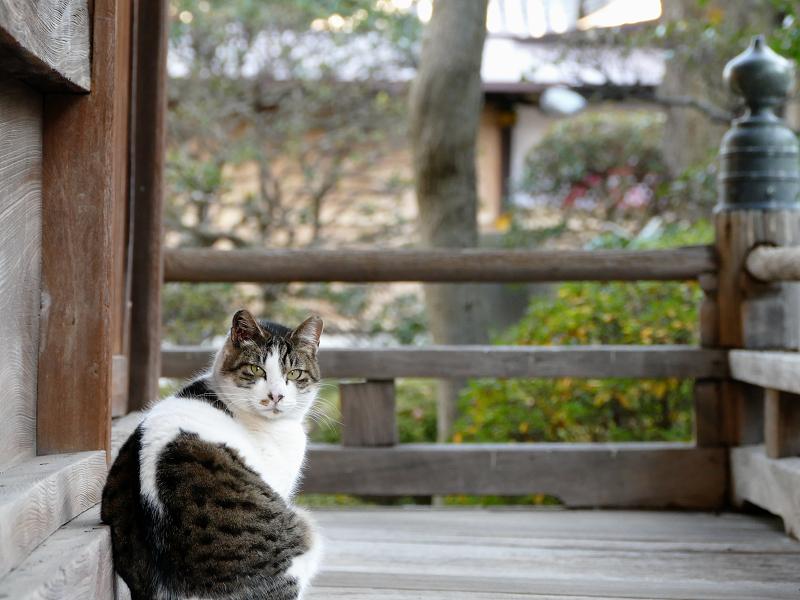 濡れ縁で振り返る猫2
