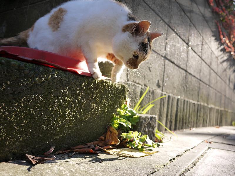 高い所から降りる三毛猫