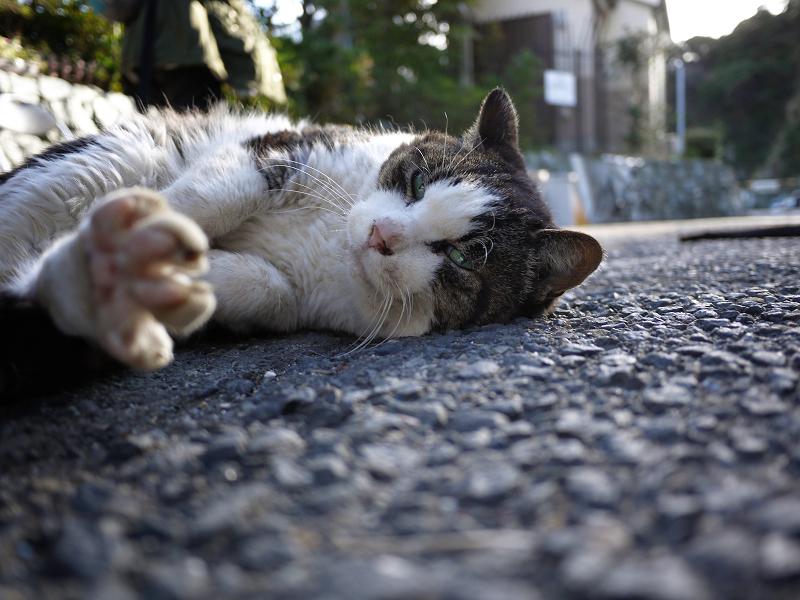 手足を伸ばすキジ白猫をローアングルで