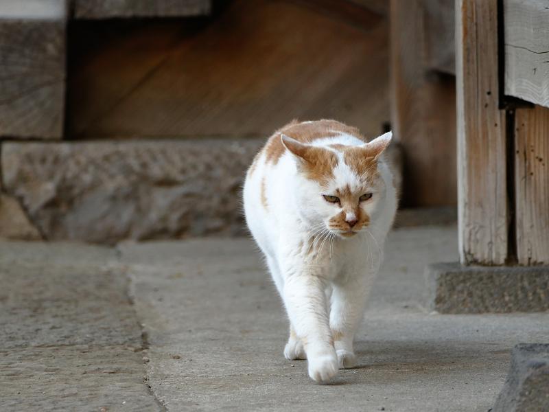 堂前から近づいて来る猫2