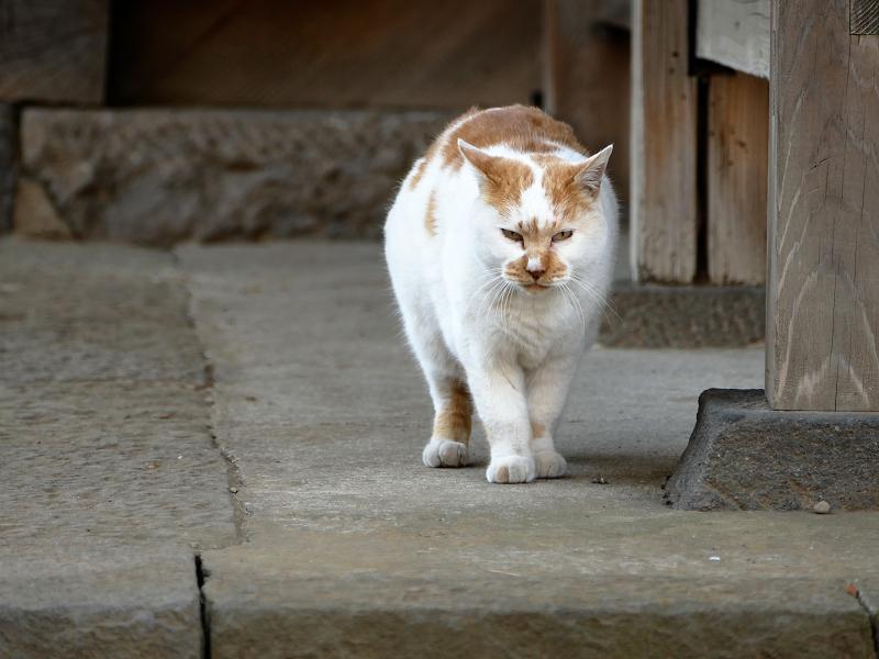 堂前から近づいて来る猫3