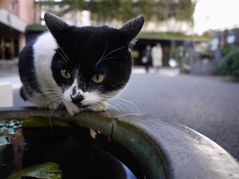 水鉢にのってる猫